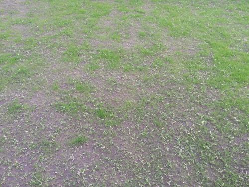 Gesät  Rasen neu gesät - Lücken - Unkraut überwuchert den Rasen - Garten ...