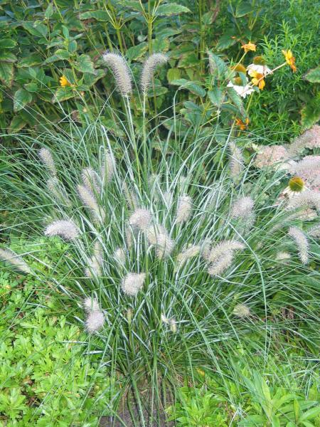 Grosse Gräser gräser in kübeln überwintern garten gartenforum de