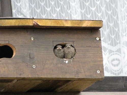 Fensterbank Holz Befestigen ~   im Mauersegler Doppelkasten auf oder unter Fensterbank  auch gut